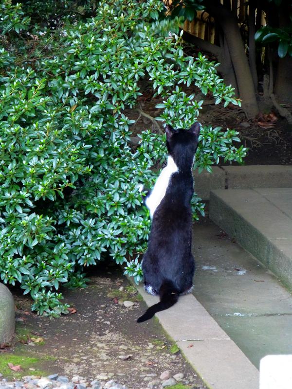 伸び上がる黒白猫3