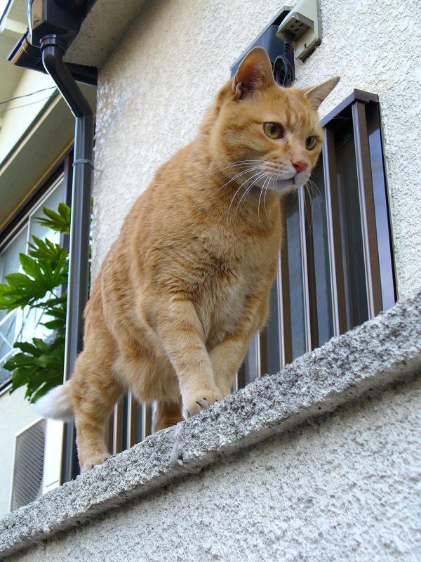 塀に登った茶トラ猫1