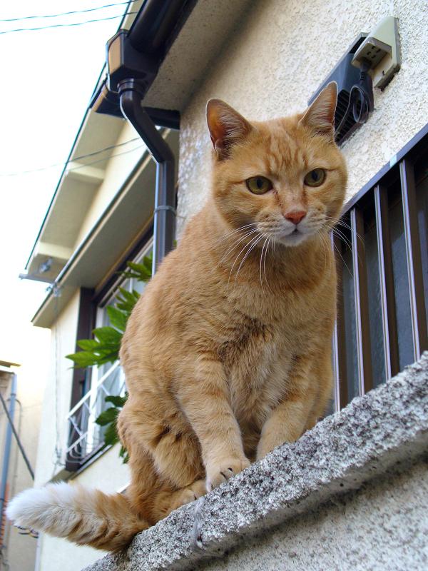塀に登った茶トラ猫2