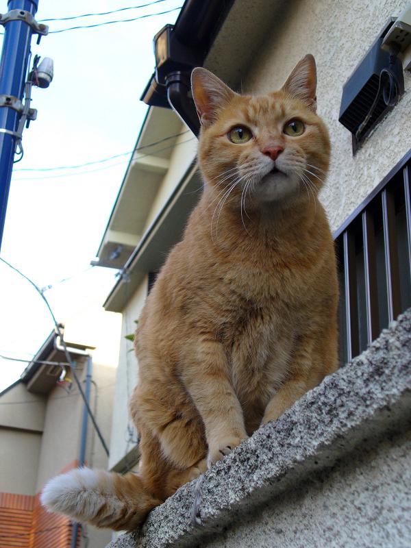 塀に登った茶トラ猫3