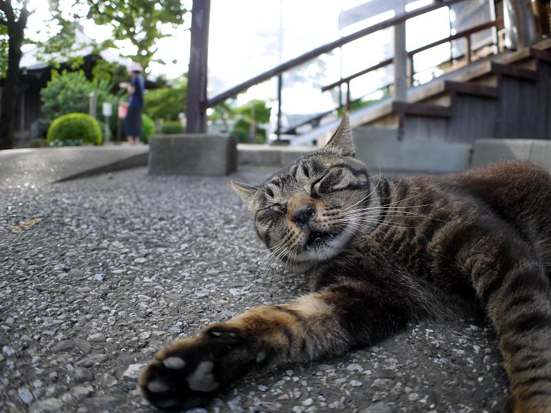 連続欠伸のキジトラ猫1