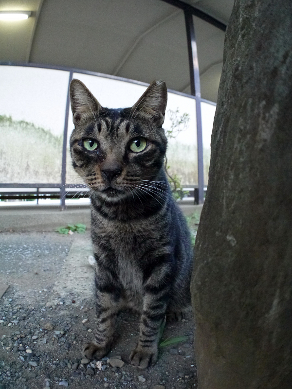 スリムになったキジトラ猫1