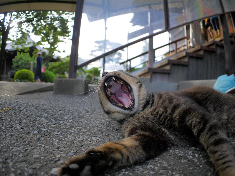 連続欠伸のキジトラ猫2