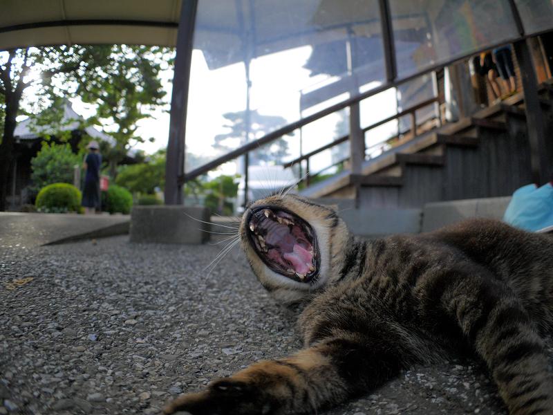 連続欠伸のキジトラ猫3