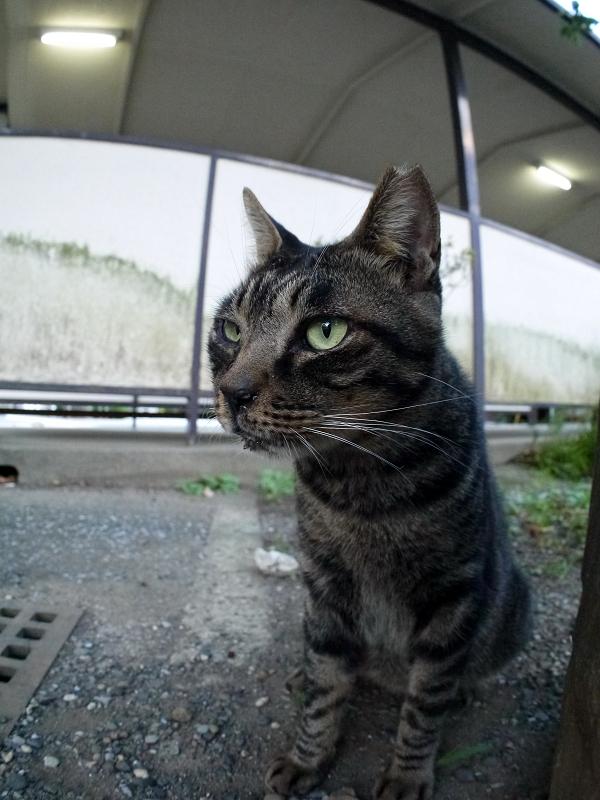スリムになったキジトラ猫3