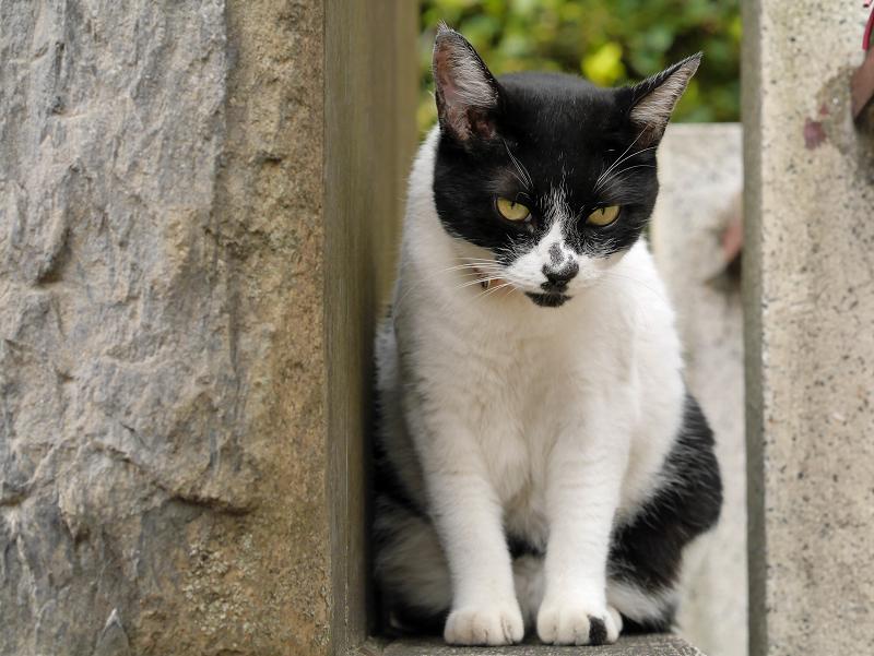 睨み顔の白黒猫1