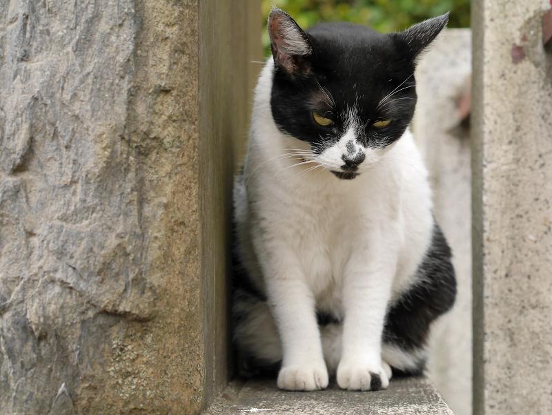 睨み顔の白黒猫2