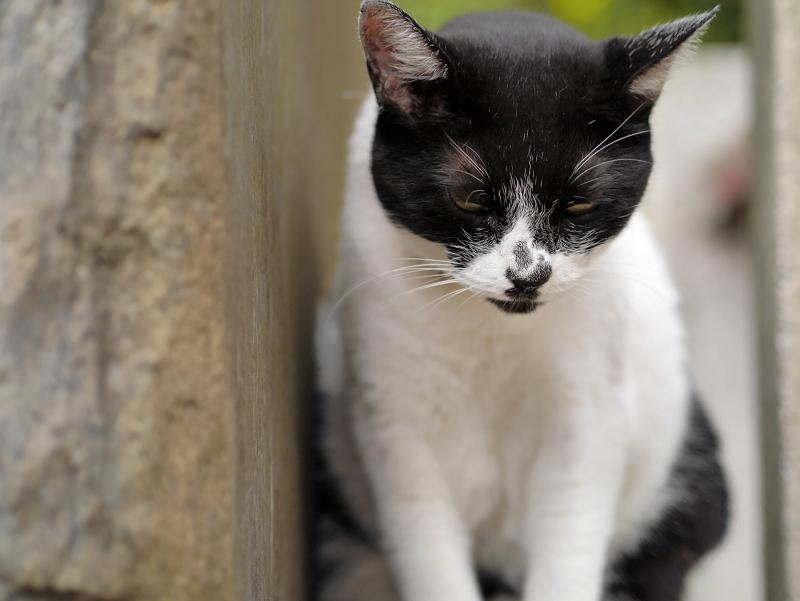 睨み顔の白黒猫3