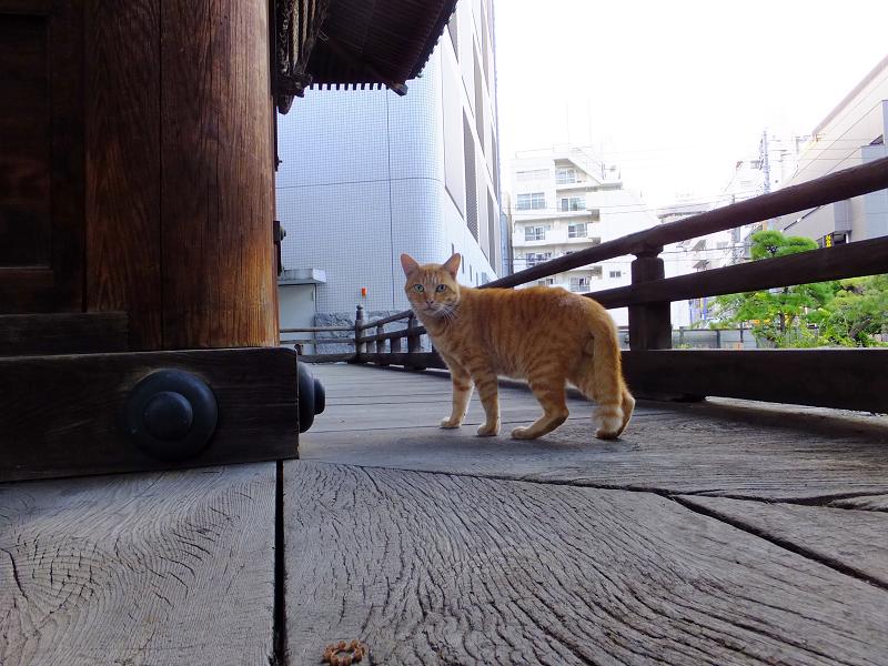 お堂回り縁の茶トラ猫1