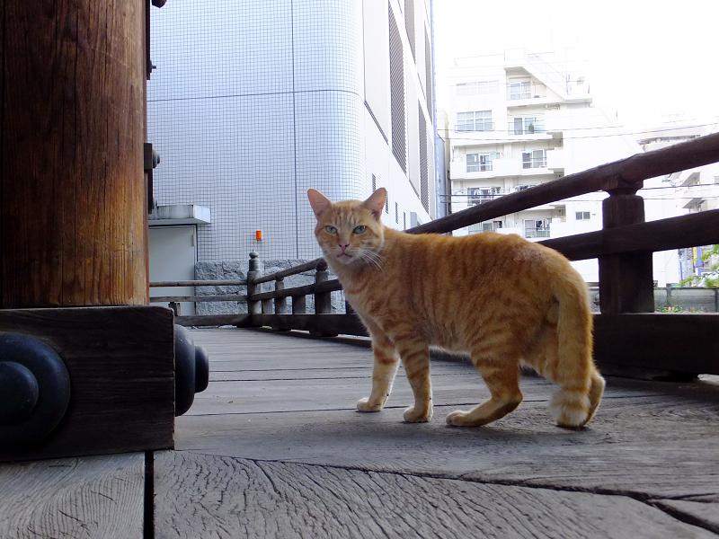 お堂回り縁の茶トラ猫2