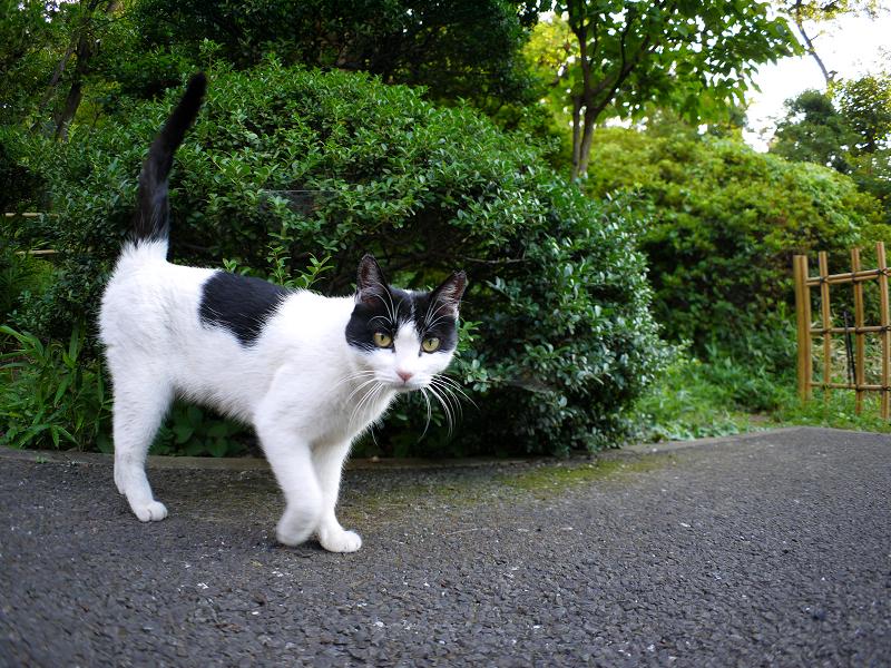 興味津々黒白猫1