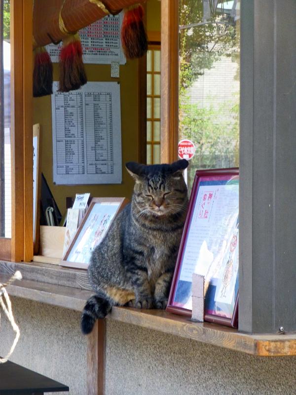 社務所店前のキジトラ猫1
