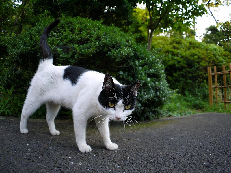 興味津々黒白猫2