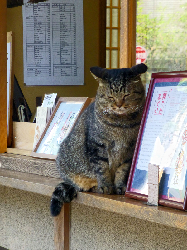 社務所店前のキジトラ猫2