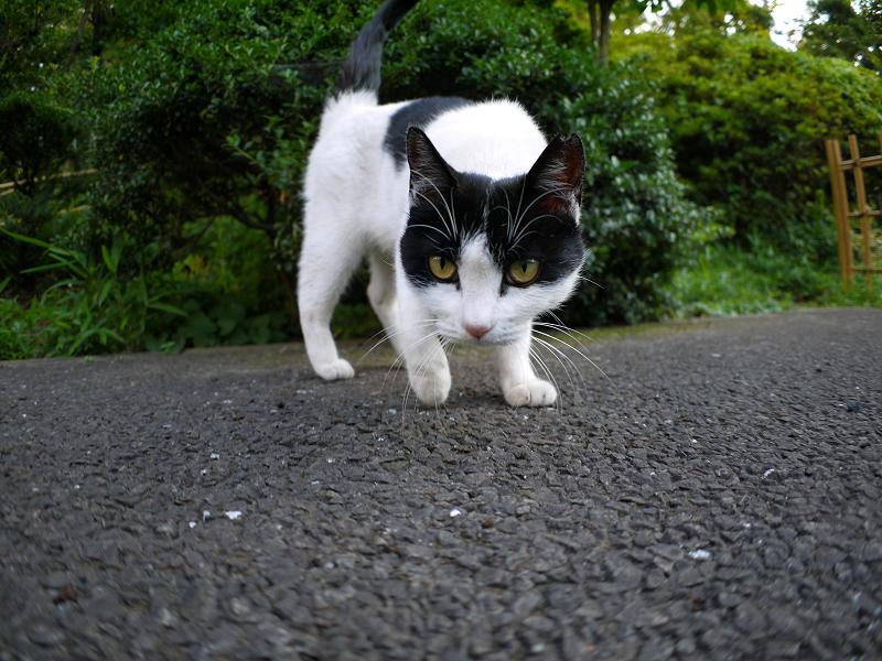興味津々黒白猫3