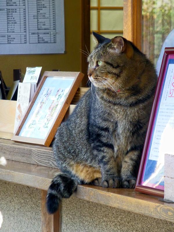 社務所店前のキジトラ猫3