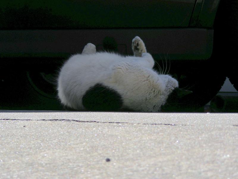 日陰で転がった黒白猫1