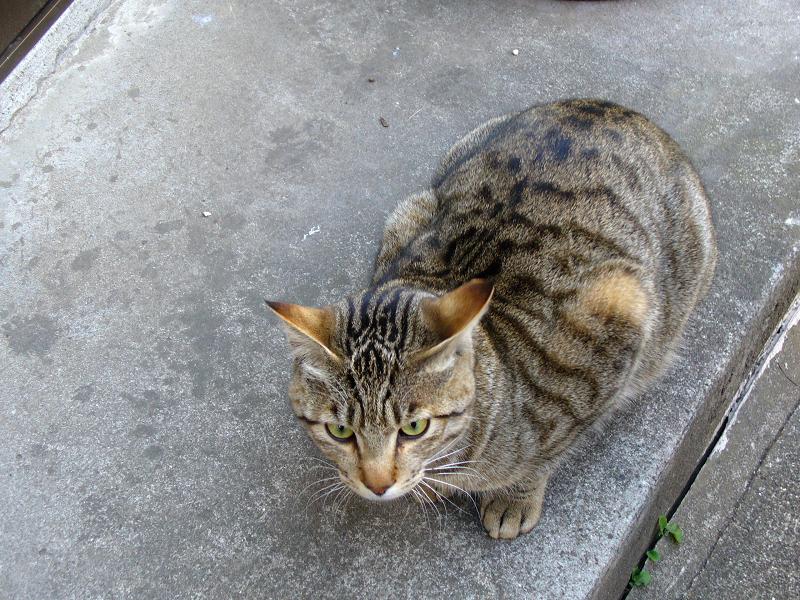 足元のキジトラ猫1