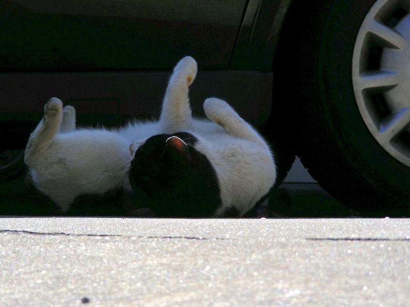 日陰で転がった黒白猫2
