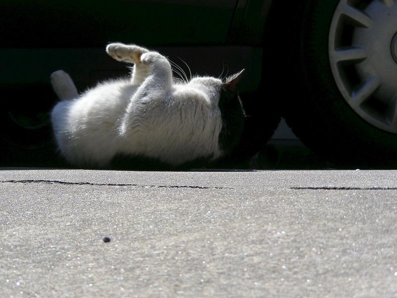 日陰で転がった黒白猫3