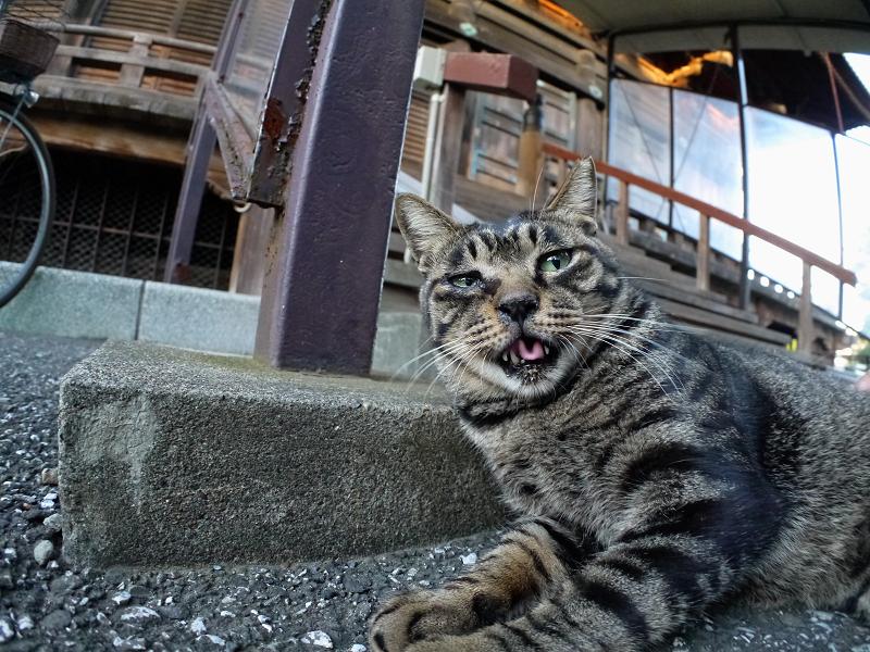階段下のキジトラ猫1