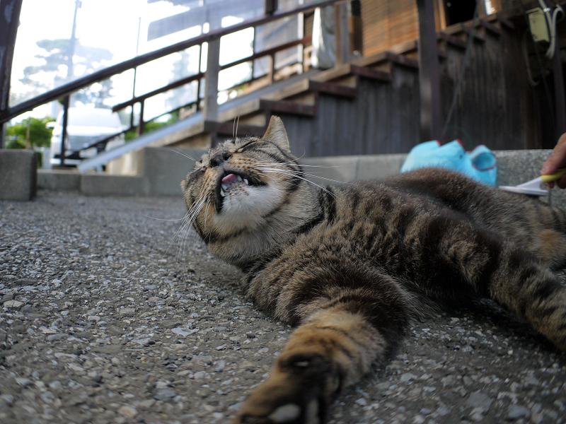 ブラッ心が快感のキジトラ猫2