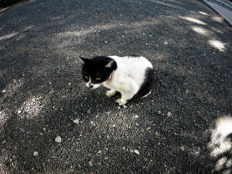 境内でベロを出す白黒猫1