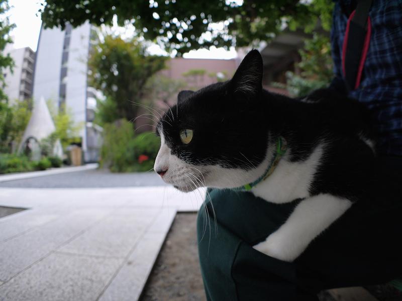 膝に乗ってる黒白の猫1