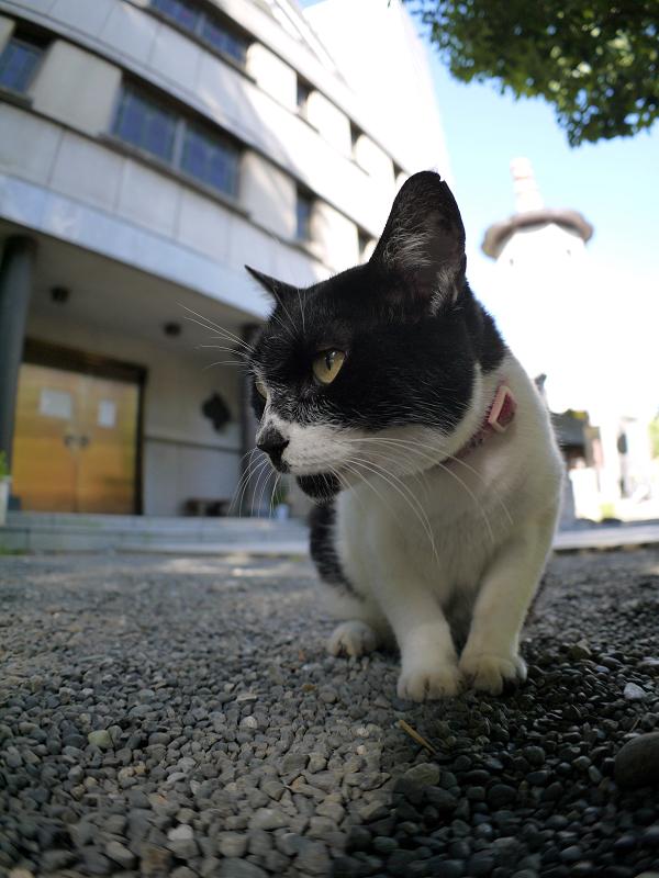 境内でベロを出す白黒猫2