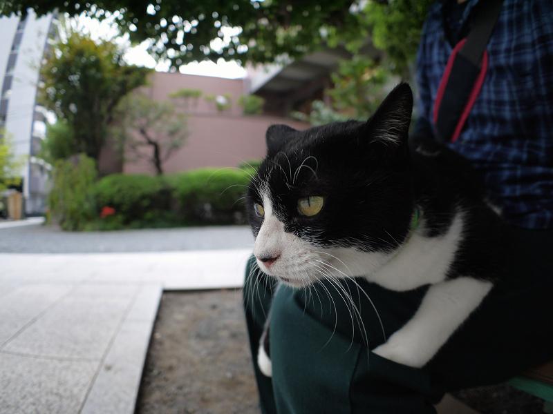 膝に乗ってる黒白の猫2