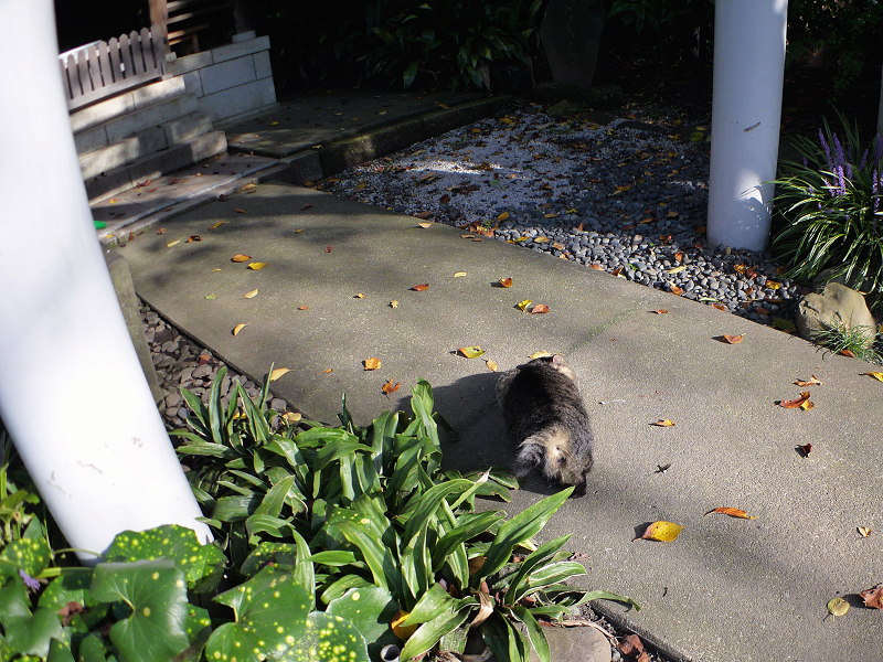 摂社参道のキジトラ猫1