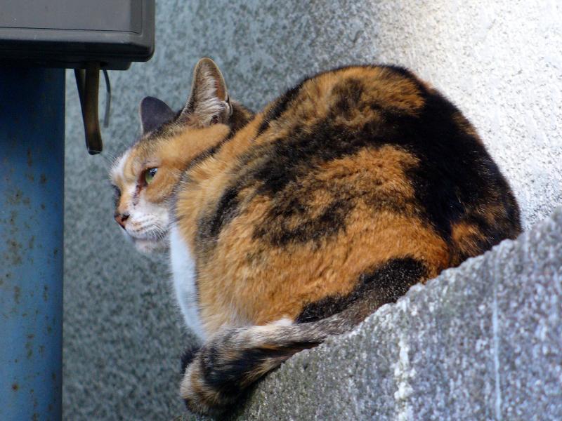 ブロック塀の三毛猫1