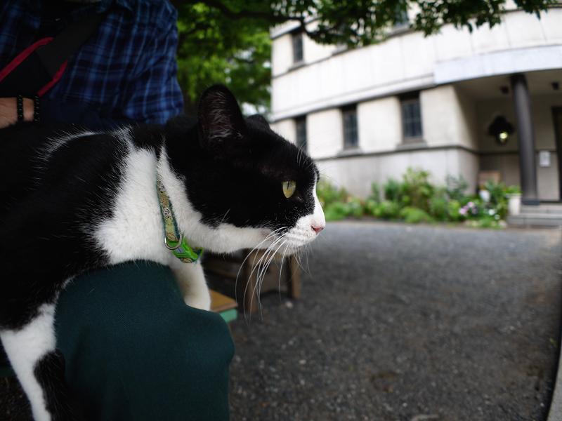 膝から見ている黒白猫1