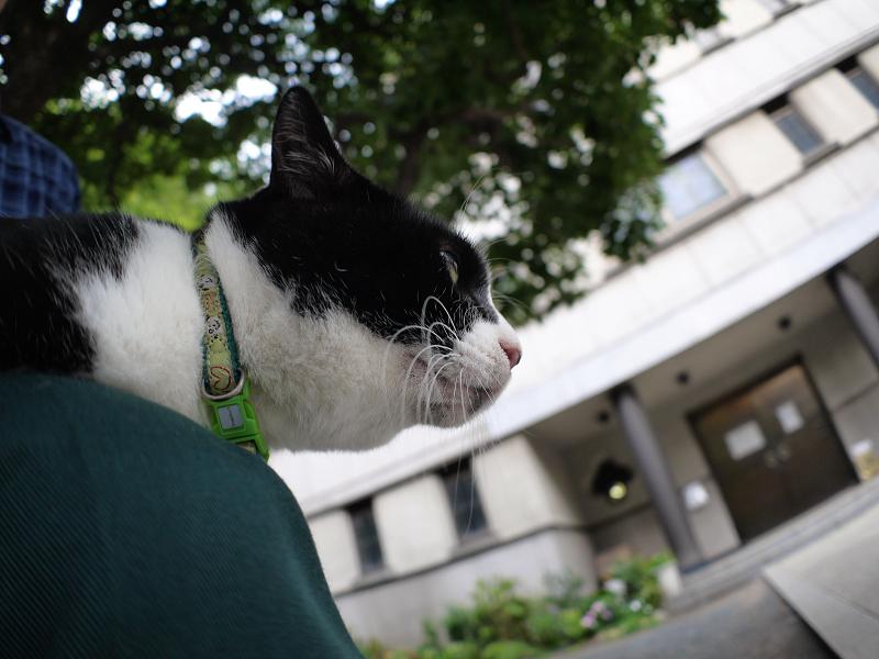 膝から見ている黒白猫2