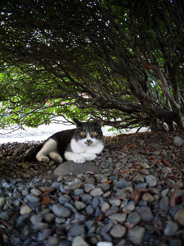 低木の下のキジ白猫