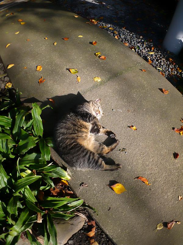 柔らかい日差しとキジトラ猫1