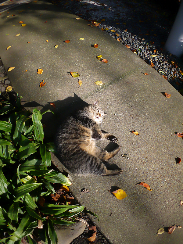 柔らかい日差しとキジトラ猫2