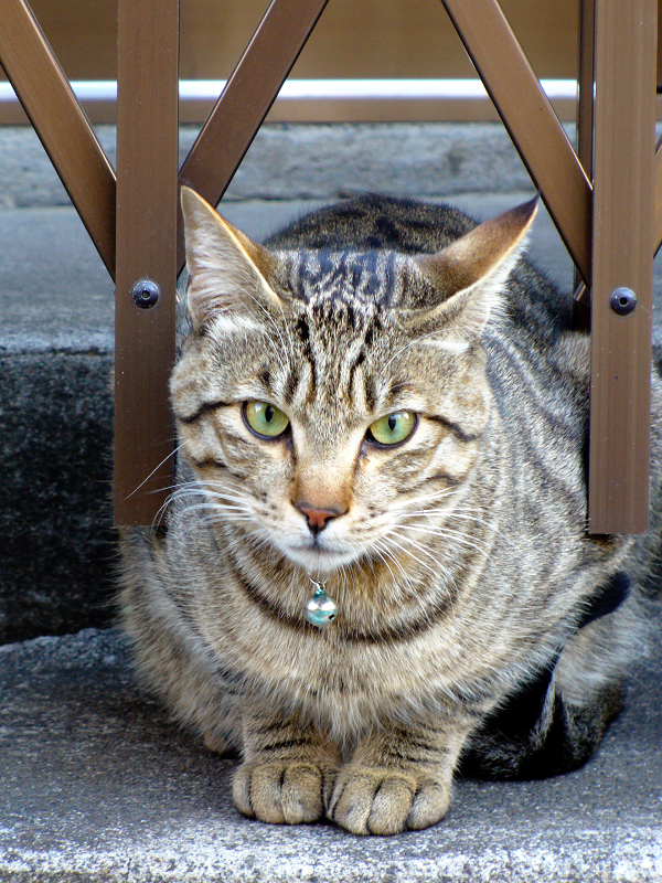 門扉の間のキジトラ猫