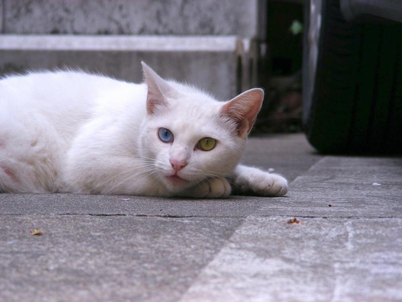 オッドアイの白い猫2