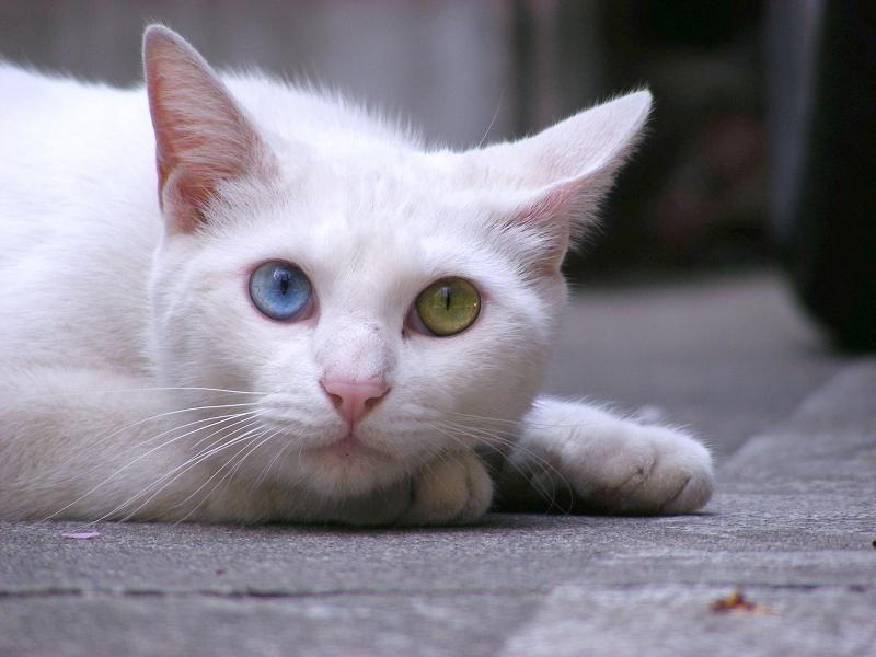 オッドアイの白い猫3