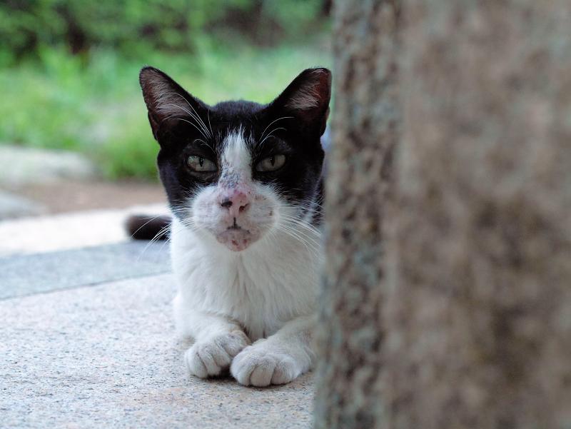 井戸端の黒白猫1