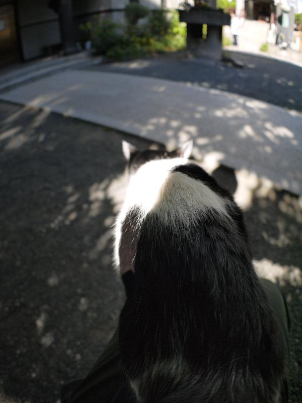 膝から飛び降りる白黒猫1