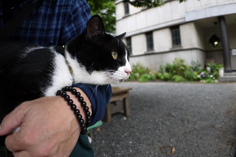 膝に乗って身を乗り出す黒白猫1