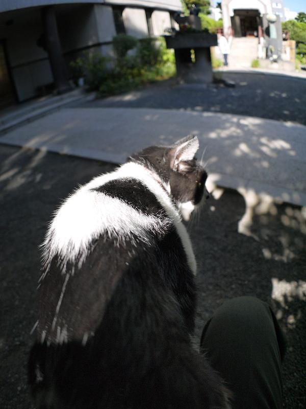 膝から飛び降りる白黒猫2