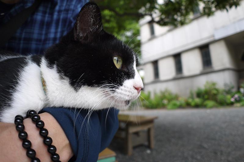 膝に乗って身を乗り出す黒白猫2