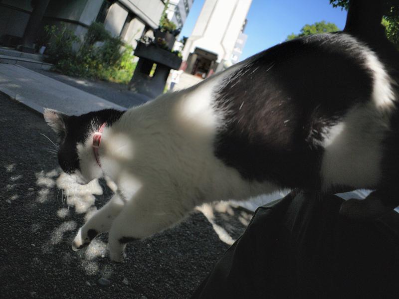 膝から飛び降りる白黒猫4