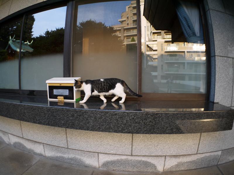 社務所受付前のキジ白猫1