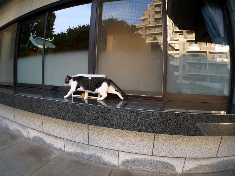 社務所受付前のキジ白猫2