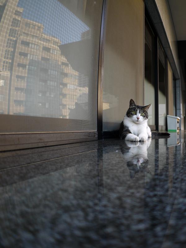 社務所受付前のキジ白猫3