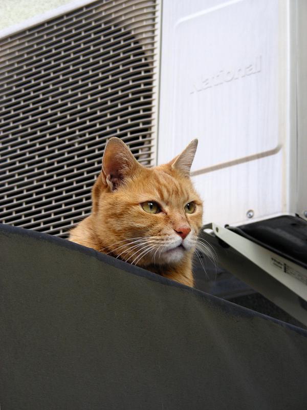 帆布屋根の茶トラ猫1